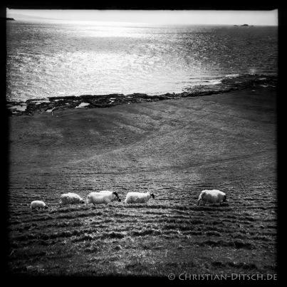 Schafe nahe der Ortschaft Kilmuir auf der Insel Skye. 22.5.2015