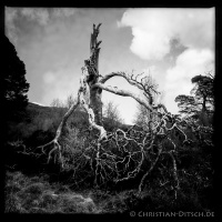 Abgestorbener Baum am Wanderweg um Loch Affric in den North West Highlands. 